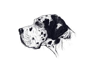 Harlequin great dane:digital drawed portrait