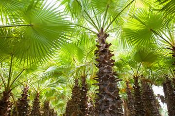 Uzun Palmiye Ağaçları