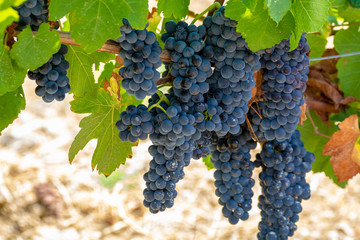 Fototapete - Red wine grapes plant, new harvest of black wine grape in sunny day