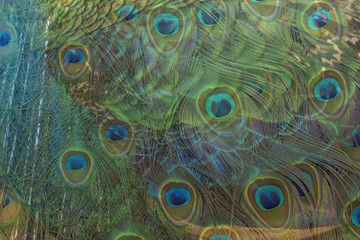 Closeup peacock feathers for background (Green peafowl)