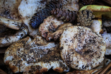 Full basket of autumn mushrooms. Natural organic food. Mushrooms in a natural setting, with earth, leaves and branches of needles. Autumn gathering of mushrooms. Composition with wild mushrooms.