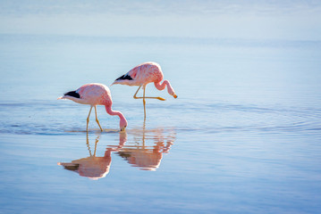 Close up of Andean flamingos in Laguna Chaxa, Atacama salar, Chile