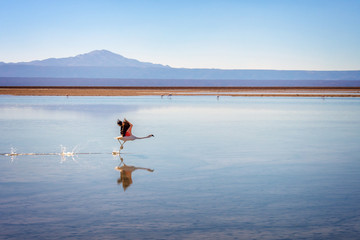 Andean flamingo taking flight in Laguna Chaxa, Atacama salar, Chile