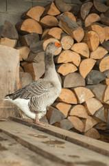Gray goose near the firewood 2