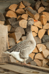 Gray goose near the firewood 1
