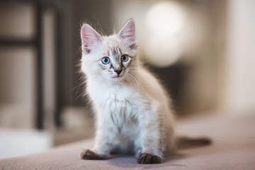 SIberian Neva Masquerade kitten with beautiful blue eyes sitting indoors. Closeup portrait of cute kitten with gray hair