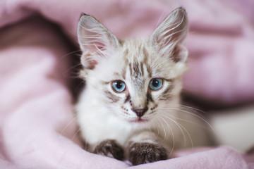 SIberian Neva Masquerade kitten with beautiful blue eyes. Closeup portrait of cute kitten with gray hair
