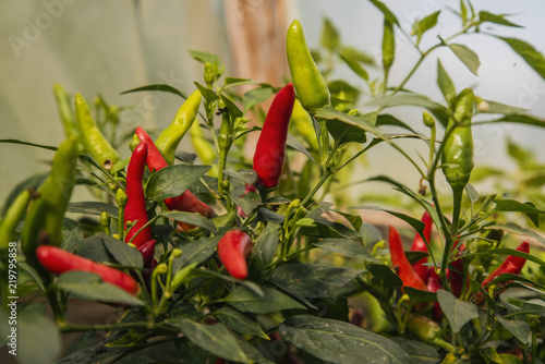 Ripening Thai Dragon hot chilli peppers on plant