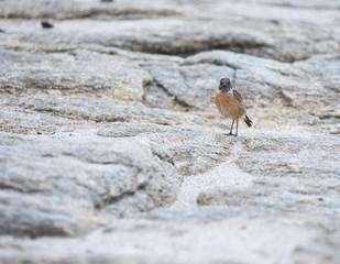 oiseau seul tarier patre posé sur un rocher sur la plage en lumière du jour en couleur de face