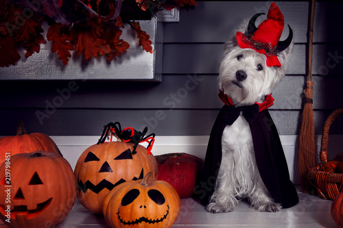 Funny west highland white terrier dog in scary halloween costume and red hat with devil horns sitting outdoor with  pumpkins with fear spooky faces and autumns leaves. Halloween night concept.