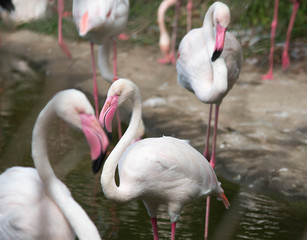 Pink big birds Greater Flamingos, Phoenicopterus ruber, in the water while relax with group.