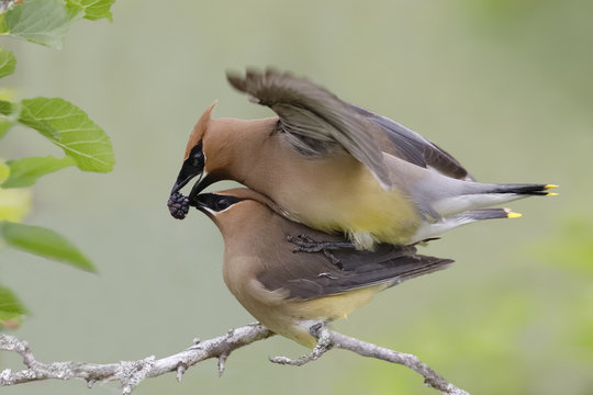 Male Cedar Waxwing offering his mate a mulberry during copulation