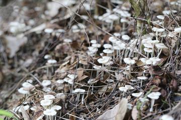 Small Termitomyces fuliginosus Heim on vegetable garden ground.