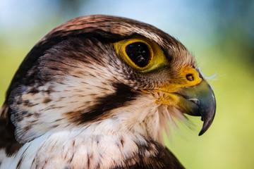 Closeup of a beautiful Peregrine Falcon on a perch Fotoväggar