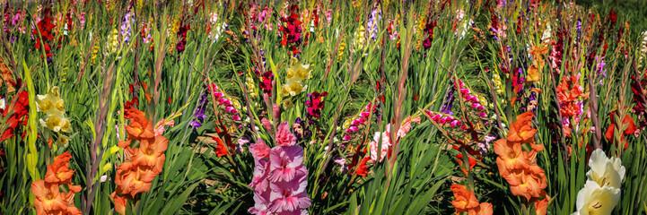 Panorama Gladiolen auf freiem Feld, Gladiolus Amicitia