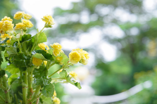 Yellow roses. Soft focus of tiny yellow roses small shrub in the flower garden, shallow depth of field. Fresh rose with droplets