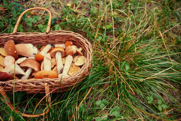 Mushrooms in a wicker basket. Forest gifts