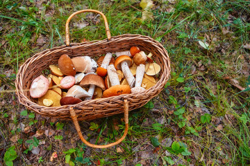 Mushrooms in a basket on a juicy green grass