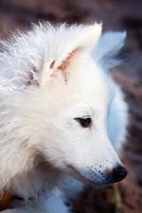 Puppy, white Japanese Spitz