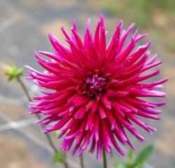 Raspberry Dahlia