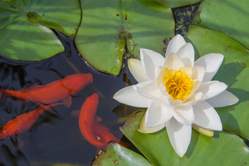 Feeding time for goldfish in the lilly pond