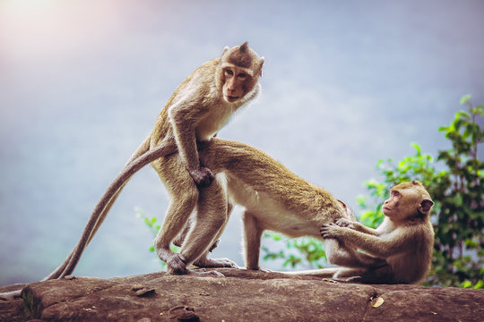 Monkeys are known to breed on cliffs