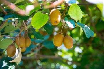 Kiwi fruit on tree on kiwi plantation in Italy