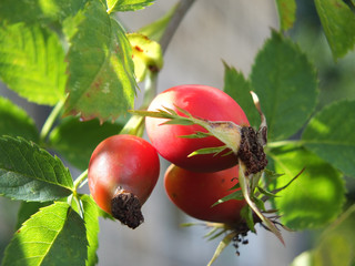 Close up of a group of large bright red wild rosehips on a dog rose bush in early autumn