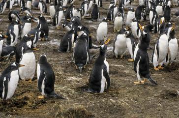Manchot papou,.Pygoscelis papua, Gentoo Penguin, archipel des Falkland