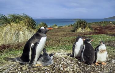 Manchot papou, jeune et adulte, Pygoscelis papua, Gentoo Penguin, archipel des Falkland