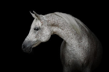 Portrait of a beautiful gray arabian horse isolated on black background