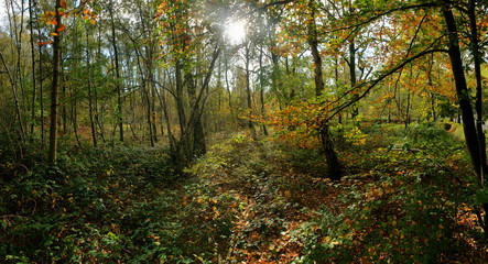 panoramic view of a forest in autumn colors with plenty leaves and ivy on the forest floor