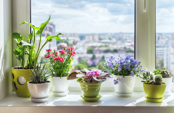 House plants on window.  Cactus, blue flower, violet, carnation, succulent, cala. Home flower beckground.