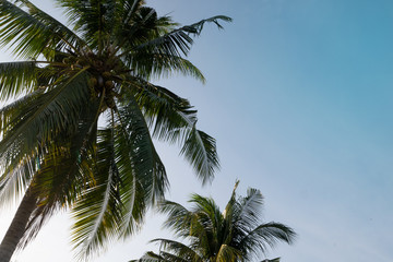Coconut tree leaves and clear blue sky as nature background