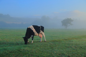 Wall Mural - British Friesians cow graze on the farmland in East Devon on a misty morning