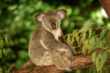Koala on a Eucalyptus tree in Queensland, Australia
