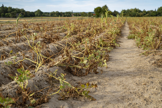 Im heißen Sommer vernichtet die Trockenheit die angebauten Kartoffeln in Soest, Nord Rhein Westfalen, Deutschland. Die Pflanzen liegen vertrocknet in den Reihen auf dem ausgetrockneten Erdboden.
