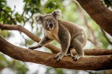 Photo sur Aluminium Koala Koala on a Eucalyptus tree in Queensland, Australia