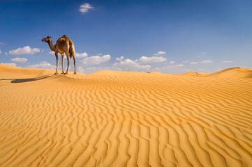 Camel on sand dune outside Dubai, UAE