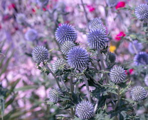 Colorful surrealistic floral outdoor close up of globe thistles with a field / meadow as natural blurred background on a bright sunny summer day with a shallow depth of field