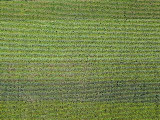 Wall Mural - Panoramic view from drone to natural green field with corn at summer sunny day.