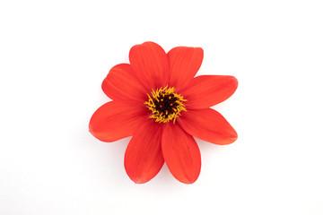 Red flower head against white background.