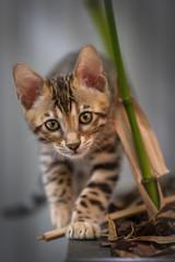 Bengal Kitten exploring Garden