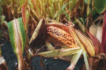 Damaged corn on the cob