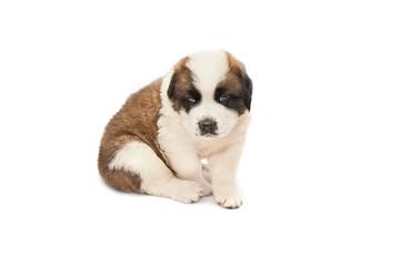 Saint bernard puppy lying