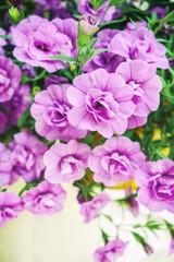 Purple Mirabilis jalapa or The Four o Clock Flower.
