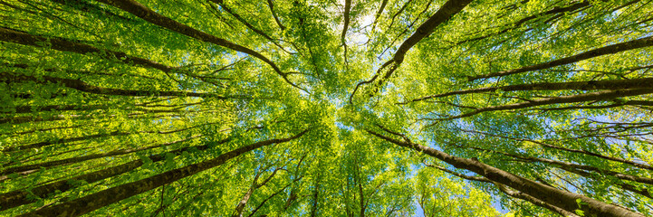 Photo sur Aluminium Arbre Looking up at the green tops of trees. Italy