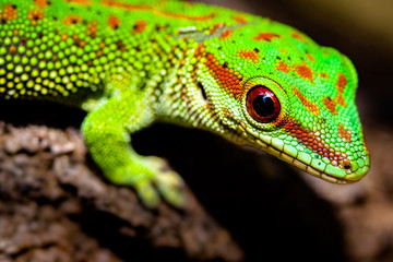 Day Gecko  Wall mural
