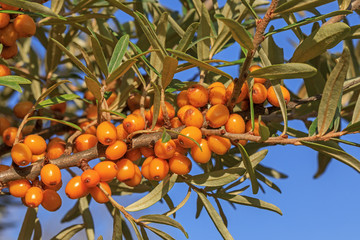 Früchte und Blätter des Sanddorns (Hippophae rhamnoides)