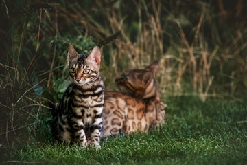 Bengal Kitten and Mom in Grass